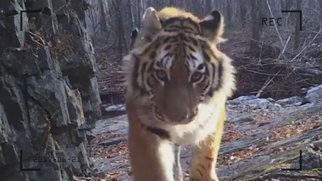 Von 50 auf 500: Sibirische Tiger erholen sich langsam